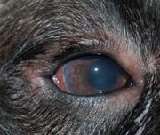 Дистрофии роговицы у животных
